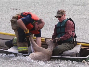 Two Men Risk Going Into an Icy River to Save a Deer