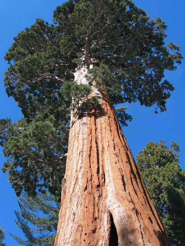10 Highest Trees of the Planet (1)