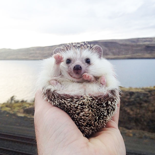 Hedgehog In Palm