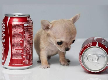 The smallest dog breed in the world - photo#10