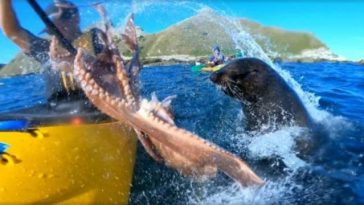 Sea Lion Slaps a Kayaker with an Octopus
