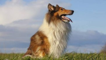 Collie Dog Breeds