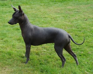 Mexican Hairless