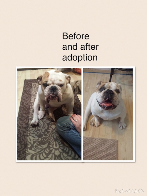 dog adoption bulldog