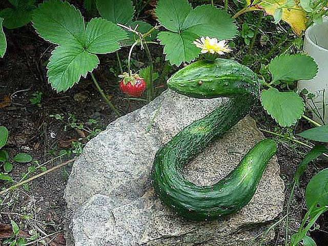 30 Funny Oddly shaped fruits and vegetables - Wow Amazing