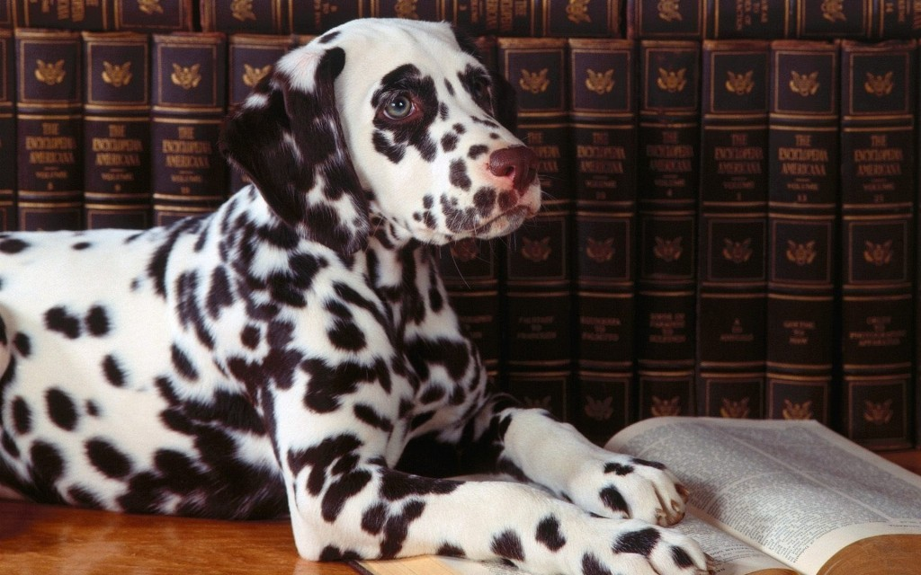 10 Uses for the Dalmatian Dog, What Are They (1)