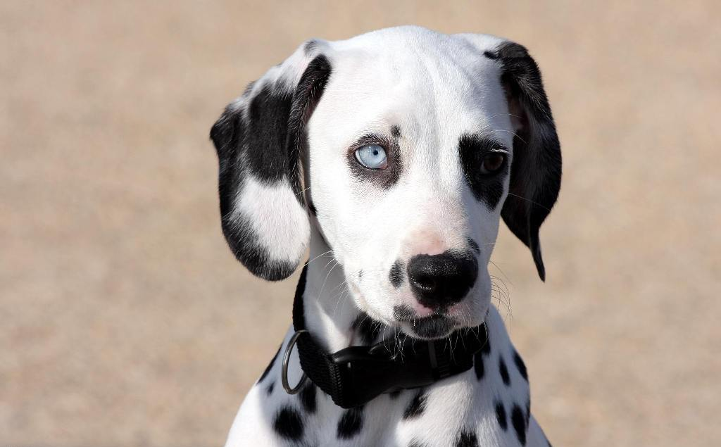 10 Uses for the Dalmatian Dog, What Are They (11)