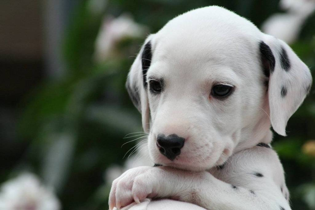 10 Uses for the Dalmatian Dog, What Are They (12)