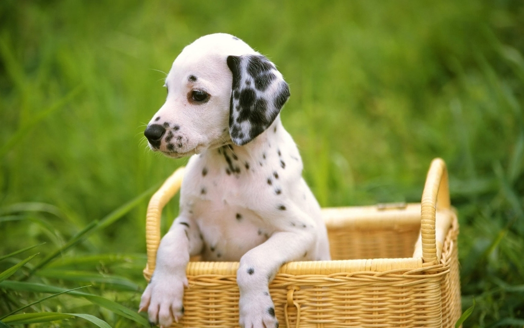 10 Uses for the Dalmatian Dog, What Are They (14)