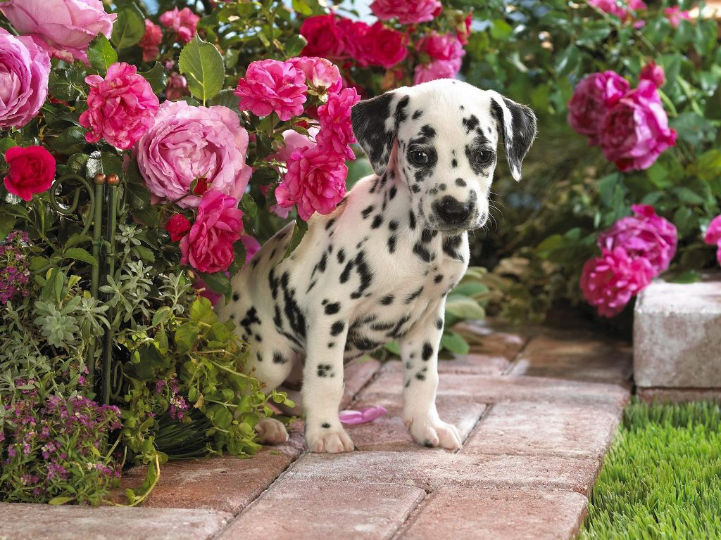 10 Uses for the Dalmatian Dog, What Are They (15)