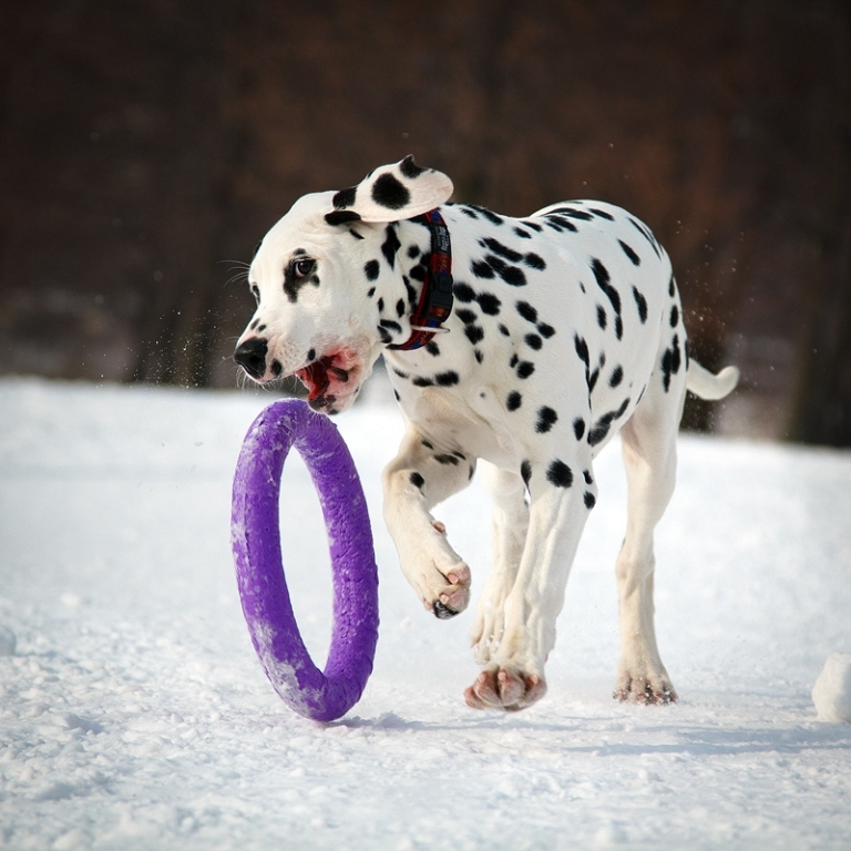10 Uses for the Dalmatian Dog, What Are They (16)