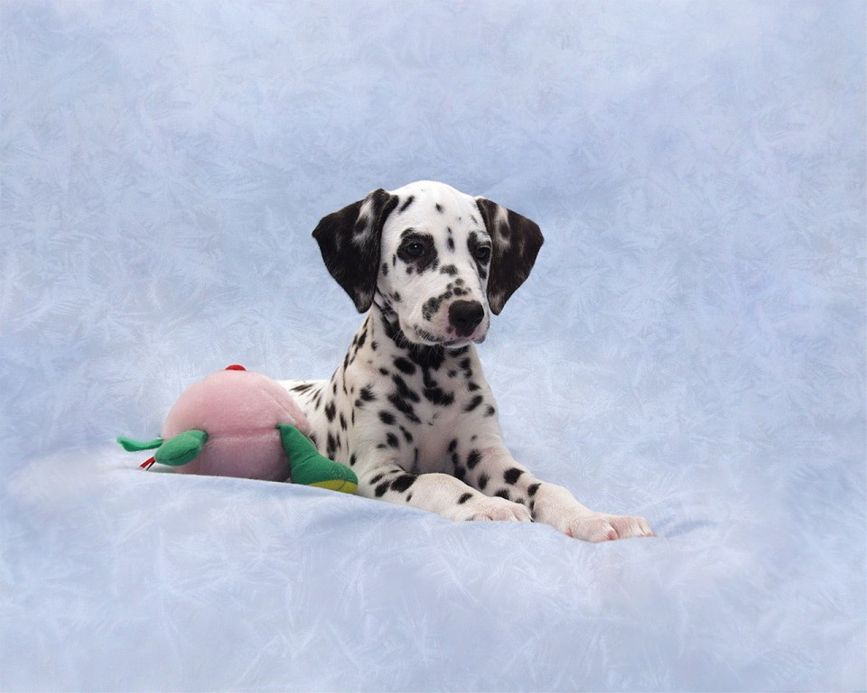 10 Uses for the Dalmatian Dog, What Are They (17)