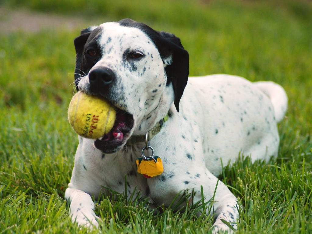 10 Uses for the Dalmatian Dog, What Are They (18)