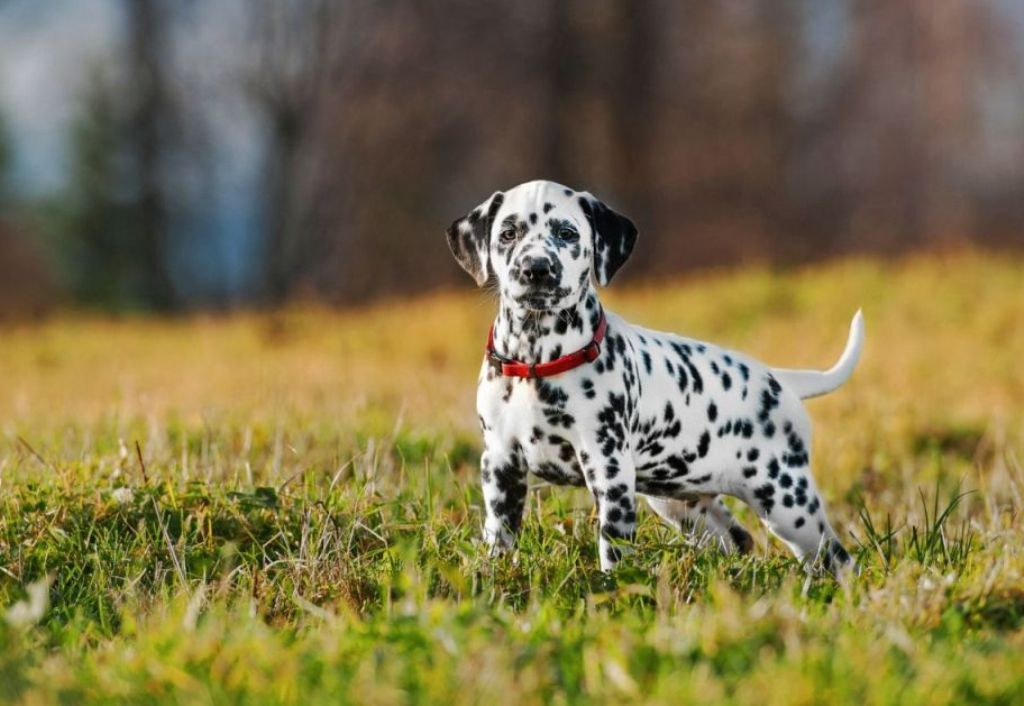10 Uses for the Dalmatian Dog, What Are They (19)