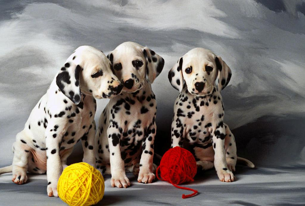 10 Uses for the Dalmatian Dog, What Are They (20)