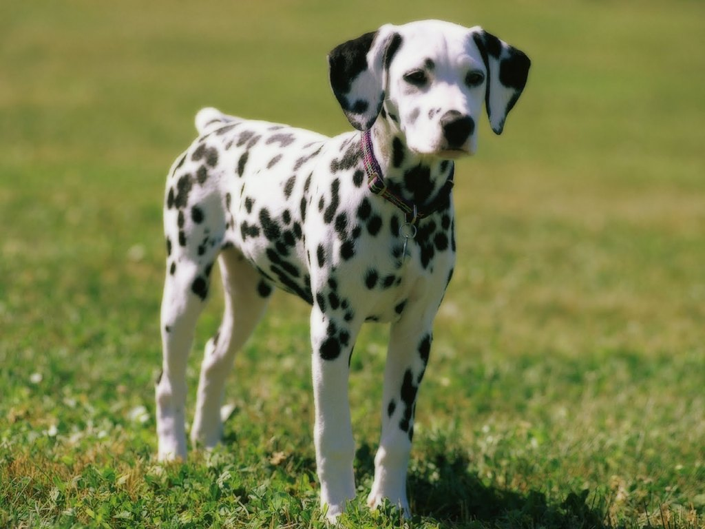 10 Uses for the Dalmatian Dog, What Are They (22)