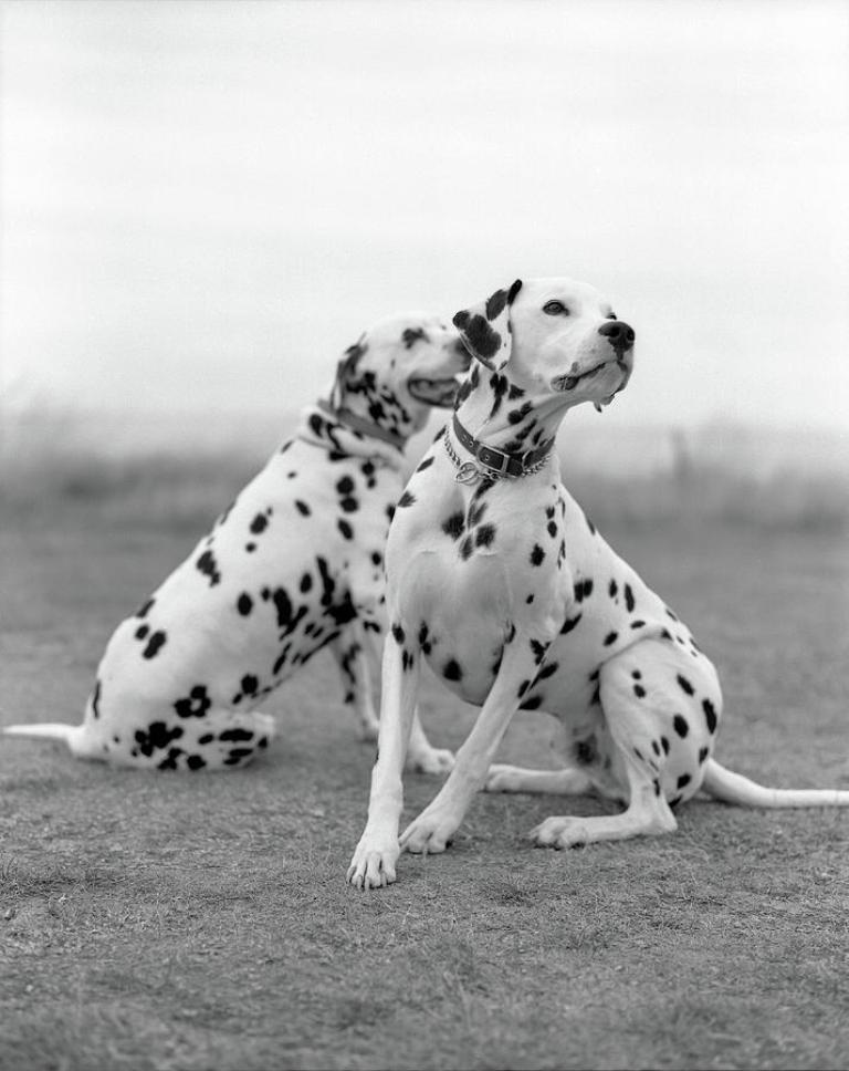 10 Uses for the Dalmatian Dog, What Are They (23)