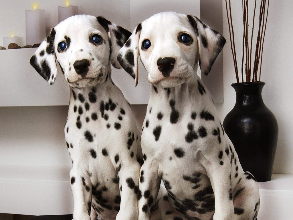 10 Uses for the Dalmatian Dog, What Are They (24)