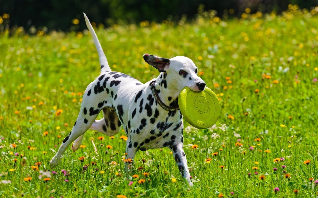 10 Uses for the Dalmatian Dog, What Are They (25)