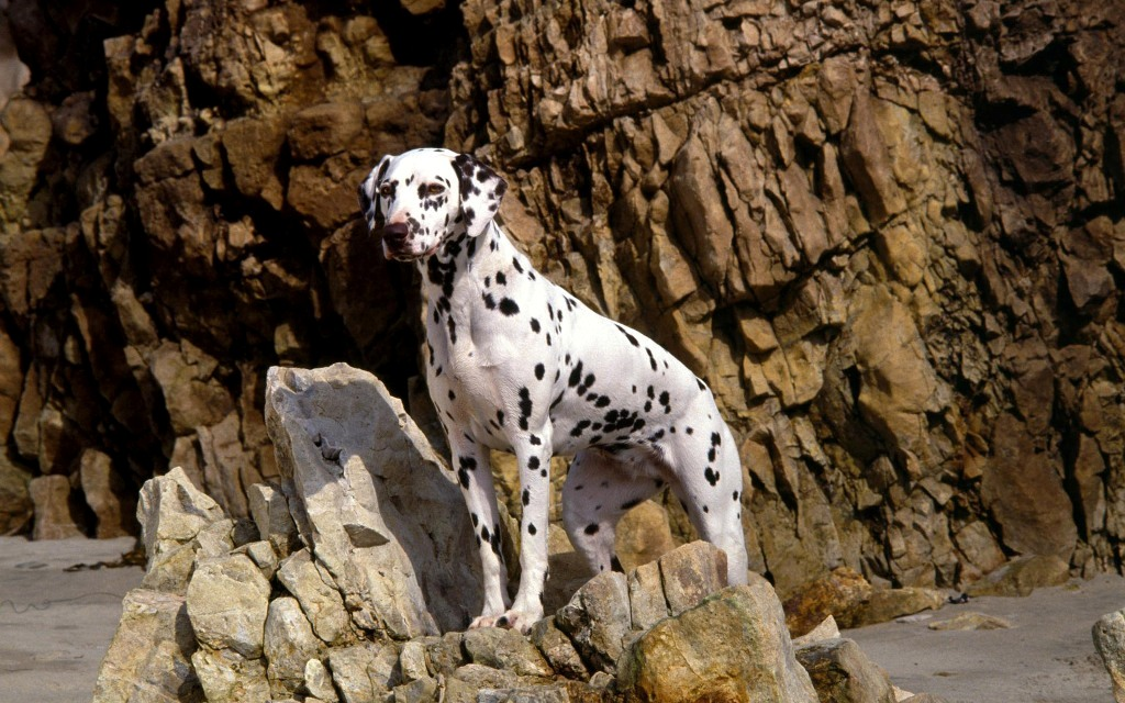 10 Uses for the Dalmatian Dog, What Are They (2)