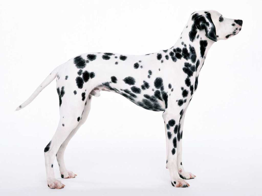 10 Uses for the Dalmatian Dog, What Are They (3)