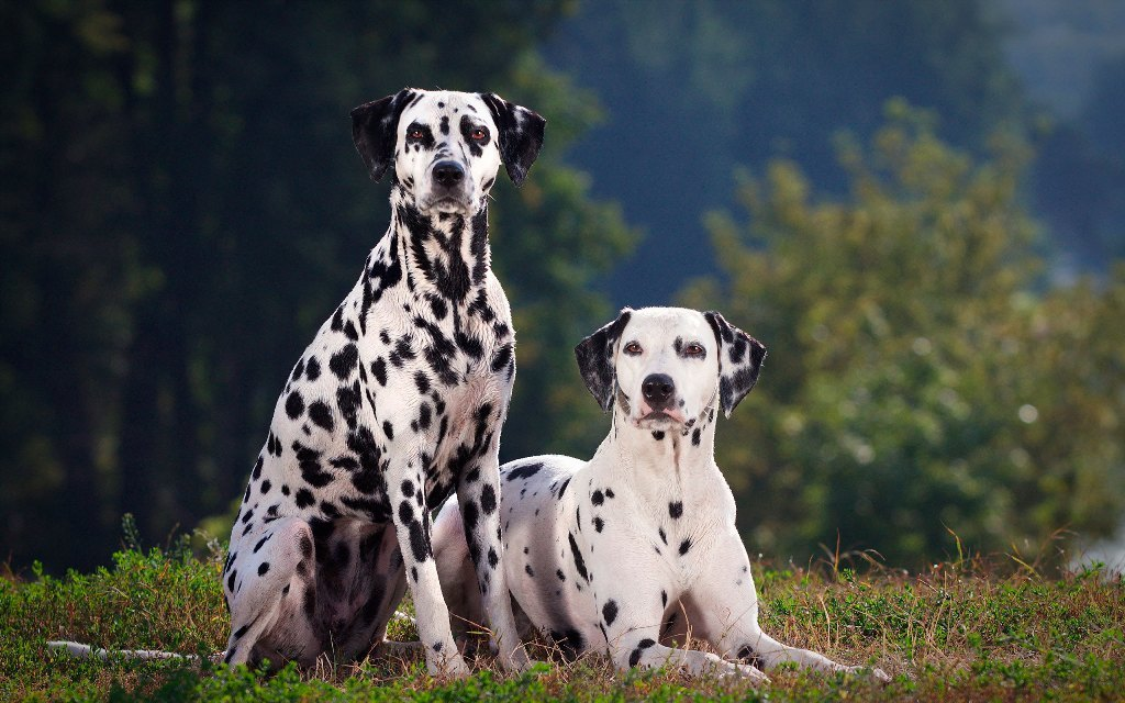 10 Uses for the Dalmatian Dog, What Are They (5)