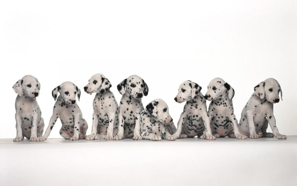 10 Uses for the Dalmatian Dog, What Are They (6)