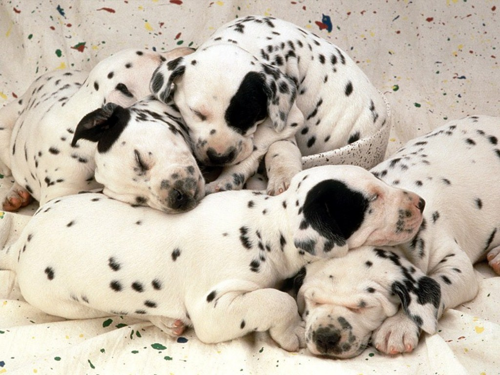 10 Uses for the Dalmatian Dog, What Are They (9)