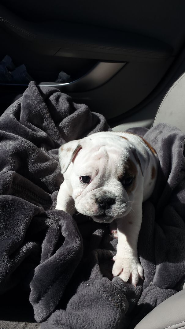 Meet 'fenway' - 8 Week Old Purebred English Bulldog From Denver, Colorado!