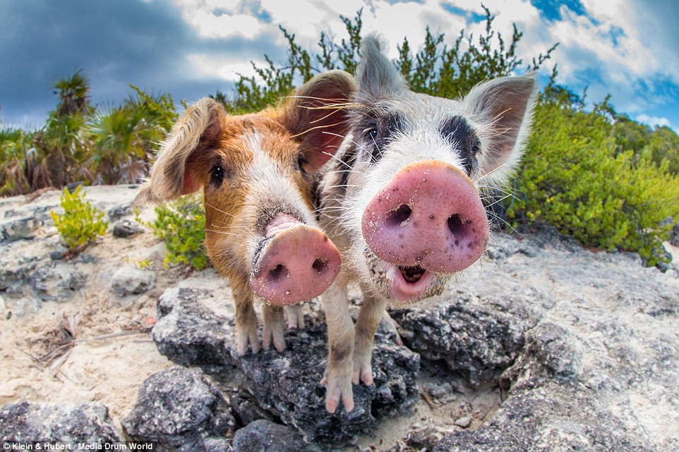 Beach Babe: The pigs are thought to have been introduced to the island by passing sailors who may have thought they would make a good food source