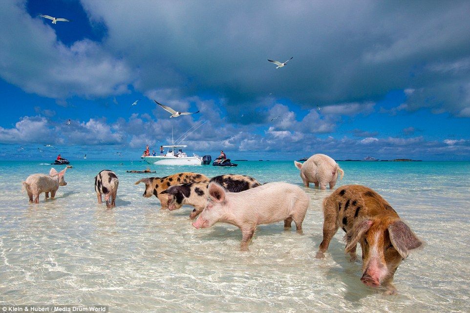 The pigs are remarkably well adapted to their beach bum lifestyle of frolicking in the crystal clear water and lazing on the sand