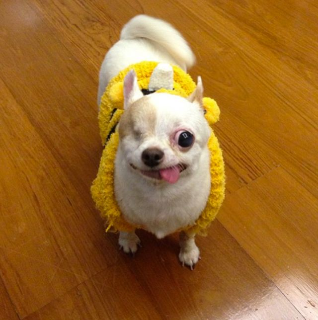 Yogurt (The Chihuahua)