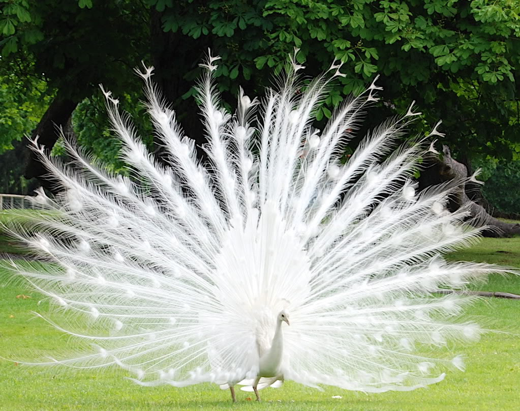 1. White Peacocks (Found in Grasslands of Australia and India)