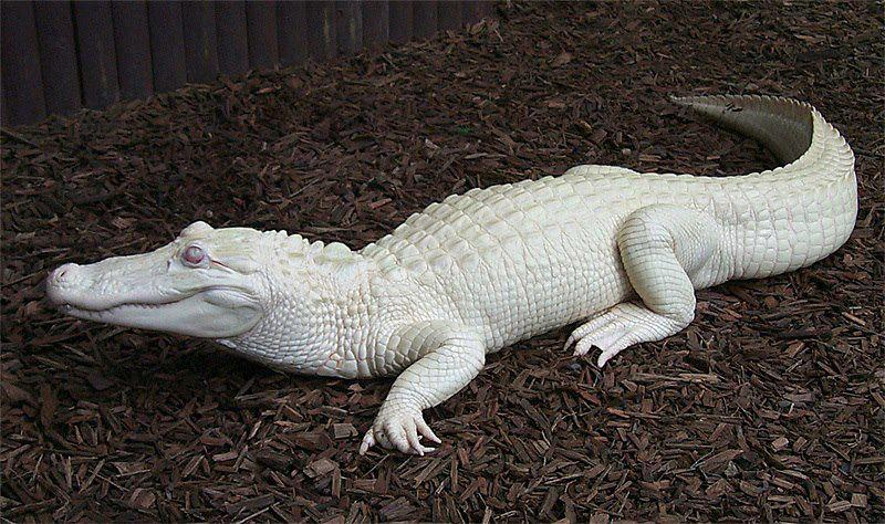 16. Albino Alligator (Southeast United States particularly Louisiana)