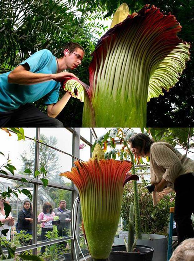 22. The Corpse Flower, Amorphophallus Titanum (Indonesia)