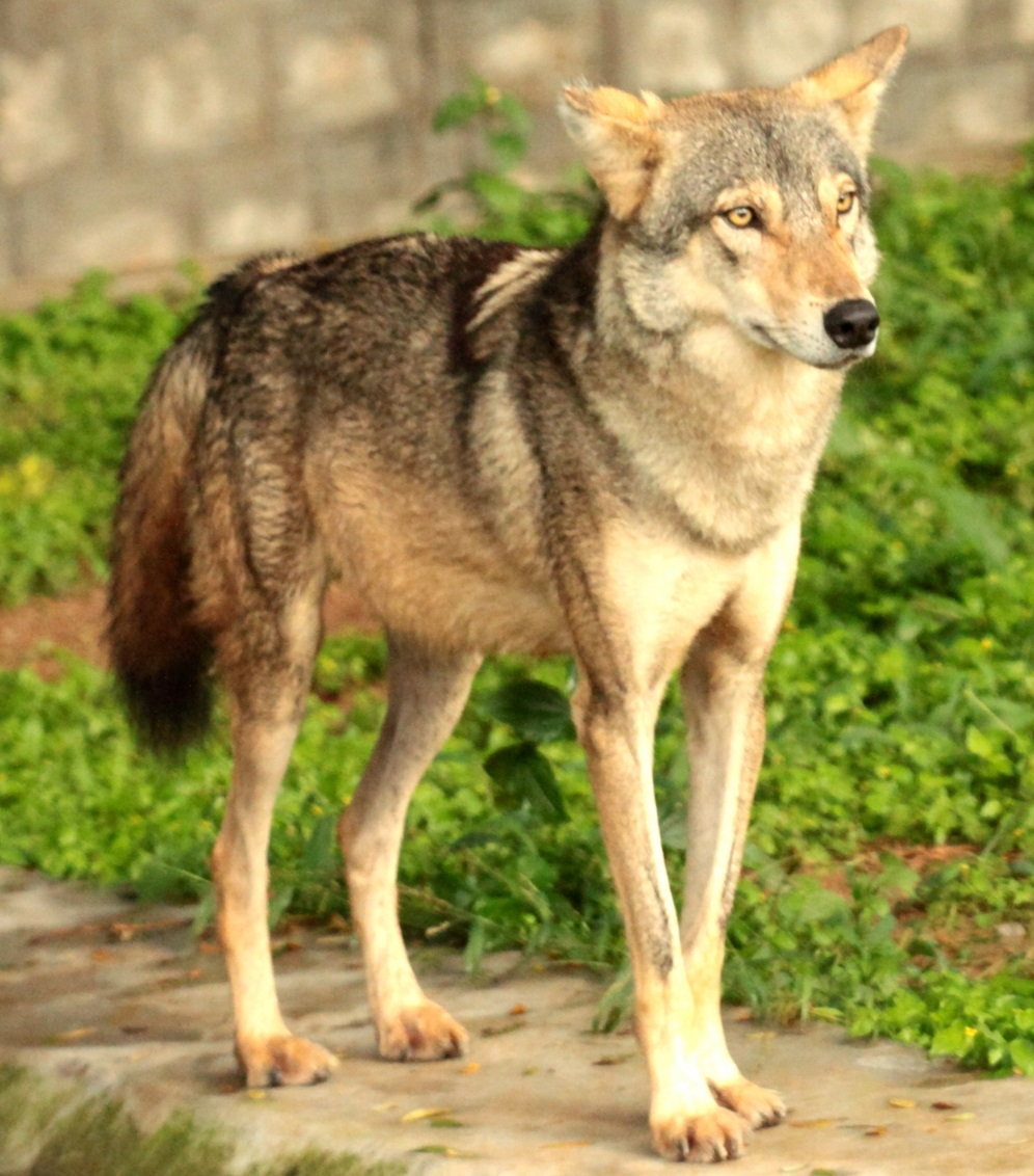 Wolves: types of wolves, description, lifestyle, photo 60