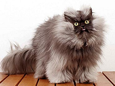 Colonel Meow Is Guinessu0027 2014 Cat With The Longest Fur