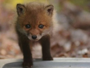 Father-And-Daughter-Find-Baby-Foxes-In-Their-Backyard