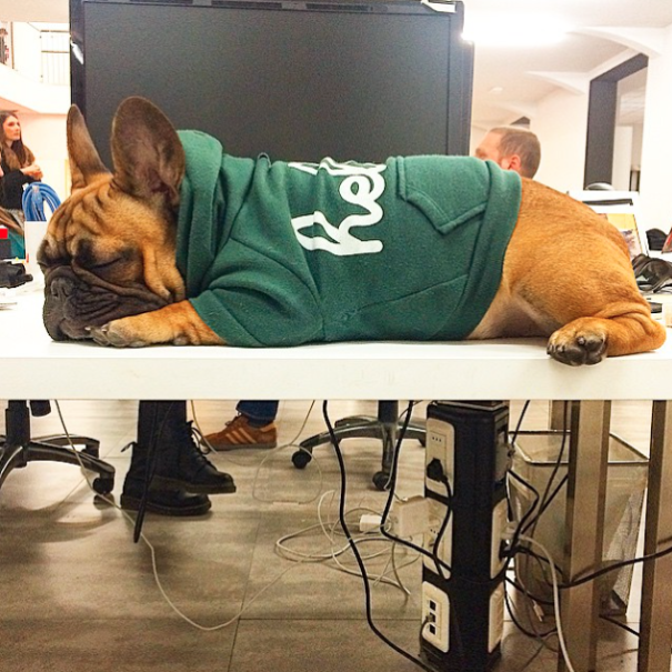 Ambrogio The Frenchie And Its Office Life.