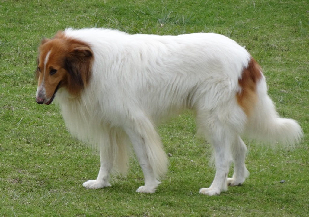 Everything You Need to Know About Collie Dogs – Wow Amazing