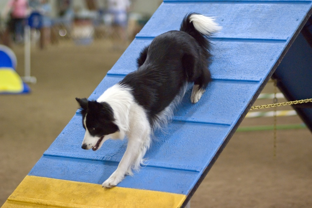 Are Collies Good Guard Dogs