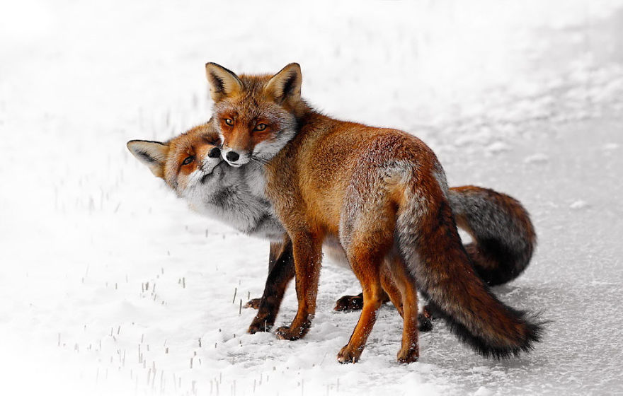 Foxy Love: A Happy Valentine