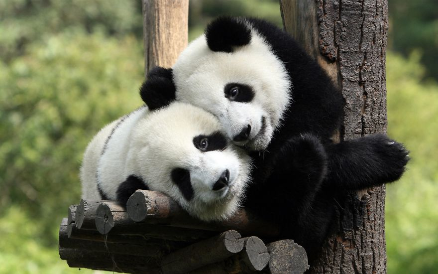 Lovely Pandas Couple