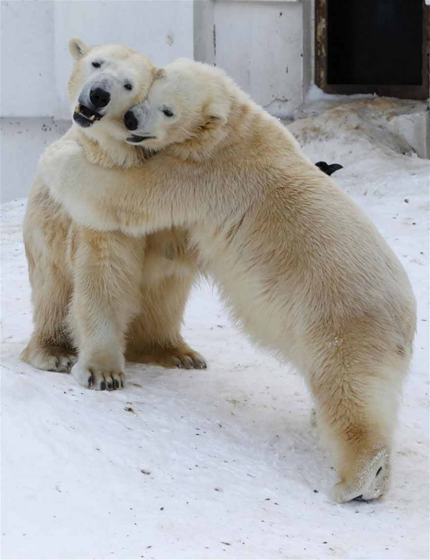 Hugging Polar Bears