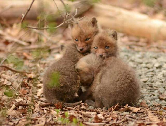baby-fox-photos-found-in-backyard-2