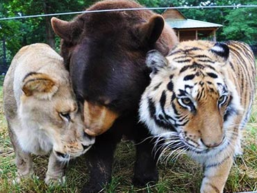 Bear forms incredible friendship with Lion and Tiger