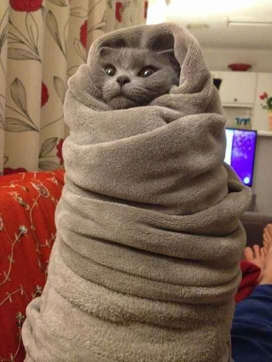cat all wrapped up in blanket funny cat pics amazinganimalphotosdotcom