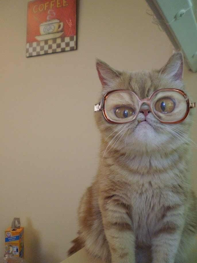cat in big glasses  funny cat pics