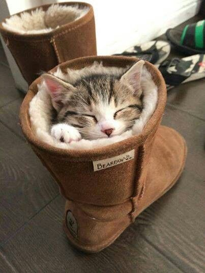 cat in the shoe  funny cat pics amazinganimalphotosdotcom