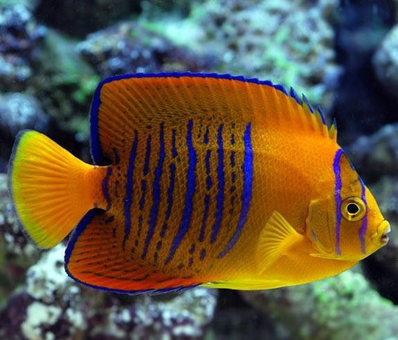 The world s most expensive tropical fish wow amazing for Most expensive saltwater fish